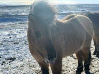 Iceland Stopover on your way to New York - Islandpferd