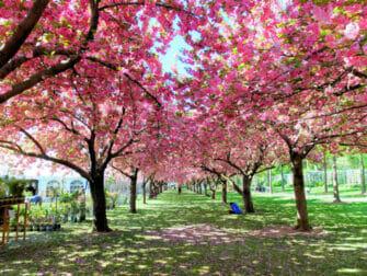 Botanical Gardens in New York - Cherry Blossoms